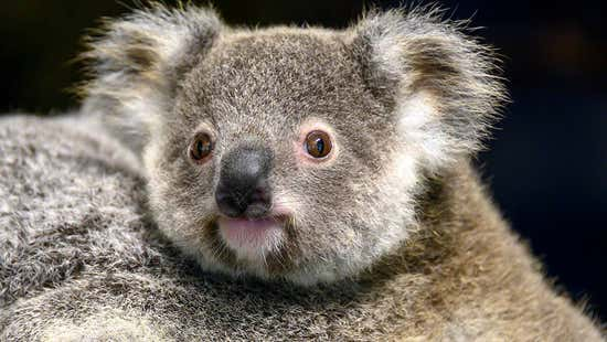 First Zoo Miami koala to survive birth in decades dies from health issues at age 2