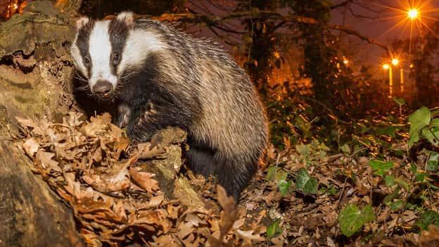 Badger cull: Jane Goodall, các nhà khoa học hàng đầu và cố vấn cũ của chính phủ đưa ra lời cầu xin cá nhân để Boris Johnson ngừng mở rộng