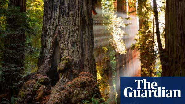 'Mind-blowing': tenth of world's giant sequoias may have been destroyed by a single fire