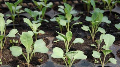 Запуск семян в помещении: как и когда запускать семена