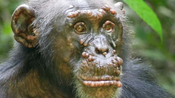 Wild Chimps With Leprosy Confirmed For The First Time - IFLScience